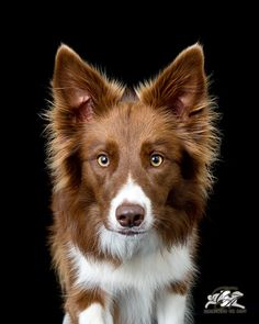 Border Collie... This is the doggie I want soooo bad.. And I will one day!