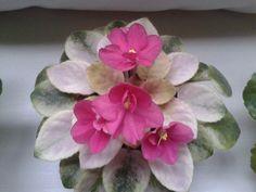 [IMG] Saintpaulia, Violets, Succulents, Happy, Plants, Blue, Miniatures, Succulent Plants, Ser Feliz