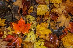 COLLAGE - Composition Wednesday #PhotoOfTheDay #leafs #autumn #fall #rain #LeafTurning #folliage #outdoors #habitat #NewYork #SlideMountain #ecosystem #AmazingPlanet #collage #NaturePhotography #Photography #NikonPhotography #Nikon #Art #ErikMcGregor #2016   © Erik McGregor - erikrivas@hotmail.com - 917-225-8963