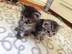 The twins! Twins, Cats, Animals, Gatos, Kitty Cats, Animaux, Animal, Twin, Cat