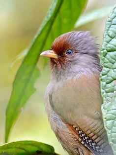 Rusty Fronted Barwing