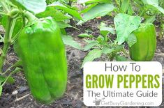 How To Grow Peppers: The Ultimate Guide - Get Busy Gardening Growing Capsicum, Growing Green Peppers, Growing Greens, Organic Liquid Fertilizer, Tomato Fertilizer, Fertilizer For Plants, Bell Pepper Plant, Pepper Plants, Container Gardening Vegetables