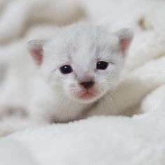 kitty Crazy Cat Lady, Crazy Cats, Tiny Kitten, Cats And Kittens, Fur Babies, Cute Animals, Dogs, Fluffy Animals, Pretty Animals