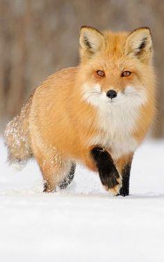 Fox ♥ Snow ♥