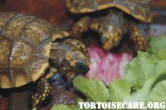 TortoiseCare.org - Tortoise Care Information, Tortoise Housing, Tortoise Keeping, Tortoise Caresheet