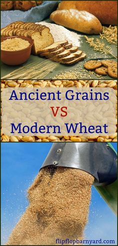 Ancient Grains VS Modern Wheat. What's the difference and why does it matter?