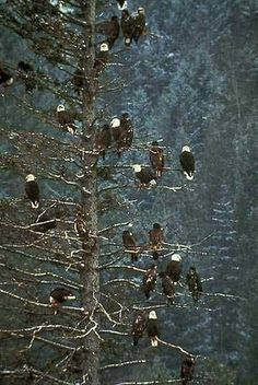 Russia BALD EAGLES..❤️❤️