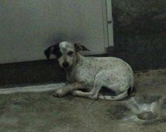 ~~dies Thurs. 07/31/14 7pm~SUPER URGENT ODESSA~ Heeler female less than 4 months old  Kennel A22 Available ??***$35 to adopt   Located at Odessa, Texas Animal Control. Must have a valid Drivers License and utility bill with matching address to adopt. They accept Credit Cards, cash or checks. We ARE NOT the pound. We are volunteers who network these animals to try and find them homes. Please send us a PM if we can answer any questions for you. .