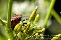 Graphosoma Italicus