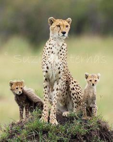 40% OFF SALE - Cheetah Mom & Babies Photograph, 8 X 10 Print, Baby Animal Photo, Wildlife Photography, Nursery Art, African Safari, Cat, Cub. $15.00, via Etsy.
