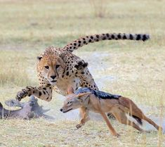 This cheetah did NOT tolerate this jackal anywhere near his fresh kill. ••Michael Lorentz Photography••
