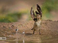 The Dance Bird by chawnanhamid6. Please Like http://fb.me/go4photos and Follow @go4fotos Thank You. :-)