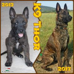 THOR FROM HUNGARY[DUTCH SHEPHERD] Thor 2017, Dutch Shepherd Dog, Hungary, Bart Simpson, Dogs, Fictional Characters, Doggies, Fantasy Characters, Dog