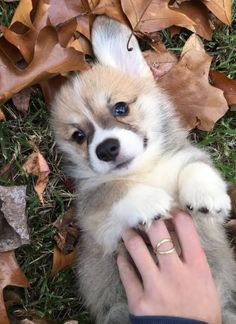 Cute little corgi