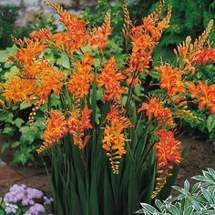 "Pinner said ""Crocosmia (Montbretia) These are very easy to grow. The orange flowers are trumpet shaped and appear alternately along the stems. The leaves are long and narrow. This is one of the few summer flowers that are not eaten by the deer. Outdoor Plants, Garden Plants, Outdoor Gardens, Orange Flowers, Summer Flowers, Pale Orange, Cut Flowers, Dried Flowers, Tall Flowers"