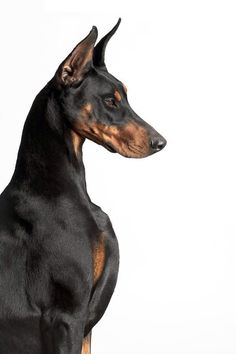 This Doberman Pincer solid sterling silver dog fever hug ring is one of a kind and all made by hand in Italy! Visit Barron's today to see if we carry your breed! Perro Doberman Pinscher, Doberman Dogs, Dobermans, Dobermann Tattoo, Scary Dogs, Beautiful Dogs, Large Dogs, Dog Art, Dog Breeds