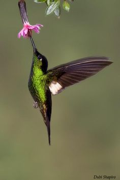 Buff-winged Starfrontlet (Coeligena lutetiae)