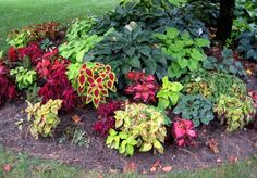 Coleus Coleus are one of the rare plants that are grown exclusively for colorful foliage. Coleus is ideal for anyone who wants . Hosta Plants, Shade Plants, Design Jardin, Garden Design, Front Yard Landscaping, Backyard Landscaping, Landscaping Ideas, Hosta Flower, Plantas Indoor
