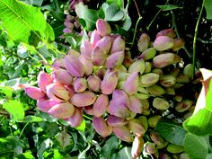 Pistachio,Iran, the United States and Turkey are the major producers of pistachios. Rafsanjan It is Iran's center of pistachio cultivation. It had an estimated population of 134,848 in 2005.Iran