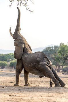 Elephant yoga, who would have guessed? Elephant yoga, who would have guessed? Nature Animals, Animals And Pets, Baby Animals, Funny Animals, Cute Animals, Wild Animals, Amazing Animals, Animals Beautiful, Elephas Maximus