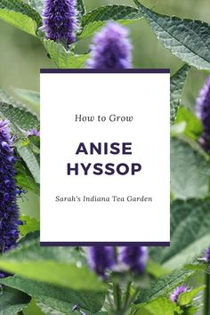 Growing anise hyssop is a great herb for any gardener to start growing. Adding this into your tea garden or medicinal garden will not only bring beautiful flowers, but also strong medicinal properties. Growing anise hyssop | Growing anise hyssop in containers | Growing anise hyssop outdoors | Growing anise hyssop outdoors | Anise hyssop | Herbal tea | Growing a tea garden | Medicinal herbs | Herb gardening for beginners Growing Veggies, Growing Herbs, Growing Flowers, Herb Gardening, Flower Gardening, Edible Plants, Edible Flowers, Raised Bed, Raised Garden Beds