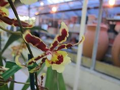 NCOS 2012 Orchid Auction at Behnke's