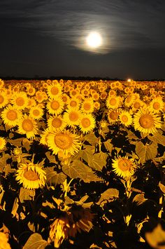 sunflower field under the moon