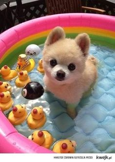 38 Brillant Dog Care Ideas to Make Your Life easier!: Animals, Idea, Dogs, Pool, Pet, Puppys, Dog Care, Pomeranian
