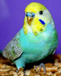 1000 images about parakeets wellensittiche periquitos on pinterest budgies parakeet and. Black Bedroom Furniture Sets. Home Design Ideas
