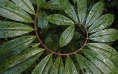 Nature doing Fibonacci experiments again - Costus barbatus Mother Earth, Mother Nature, Enchanted, Divine Proportion, Fibonacci Spiral, Natural World, Natural History, Sacred Geometry, Plant Leaves