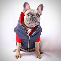 life isn't perfect but your outfit can be  Collar sweater and puffer by @lucyand.co #dogmeetsdesign by greysonthedapperfrenchie