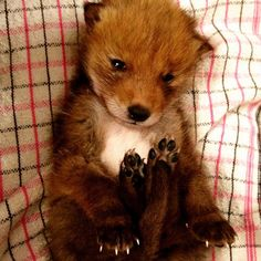 This adorable baby fox is a recent rescue at a Wildlife Rehabilitation center in Canada. Cute Little Animals, Best Funny Pictures, Animals Beautiful, Animals And Pets, Squirrel, Animal Pictures, Cute Babies, Puppies, Dogs