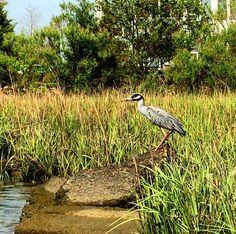 Yellow Crowned Night Heron looking for dinner #lafayetteriver #chesapeakebay #estuary #kayaking #yellowcrownednightheron #saltmarsh #marinebiologist #navywife #navywifelife #norfolk #norfolkva #757collective #virginiabeach #vabeach #va #virginia #virginiaisforlovers #birdwatching by lela_and_skip