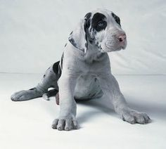 Great Danes... This is the only kind of dog my boyfriend will even negotiate... Great Dane or no dog... Good thing I love animals!!!