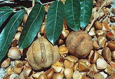 fruta e sementes da andiroba