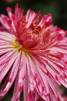 Chrysanthemum Beautiful Flowers Photos, Beautiful Flowers Wallpapers, Real Flowers, Colorful Flowers, Zinnias, Chrysanthemums, Chrysanthemum Flower, Garden Photos, Flower Pictures