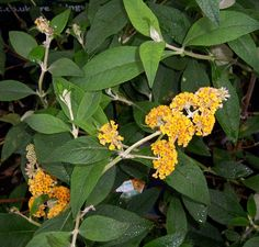 Buy Buddleja x weyeriana Sungold (Butterfly Bush (Buddleja)) online from Jacksons Nurseries