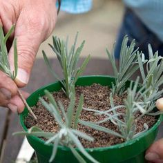 How to take lavender cuttings