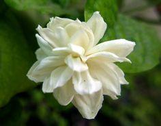 Jasmine-Wedding Flowers