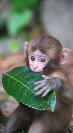 Monkey Baby and her Leaf #photo by Masashi Mochida on 500px.com #Nature Animal Baby Wildlife Japan Monkey Awaji