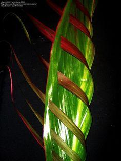 pequenos cortes no outro lado da folha ao longo das veias. As tiras dobradas sobre e através da folha. Isto mostra as cores na parte de trás da folha.