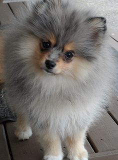 Blue Merle Pomeranian Dog Puppy Hound Dogs Hunting Puppies Blue Merle Pomeranian Dog Puppy Hound Dogs Hunting Puppies Source by iowacitydogwalk The post Blue Merle Pomeranian Dog Puppy Hound Dogs Hunting Puppies appeared first on Hannah Dogs. Blue Merle Pomeranian, Pomeranian Puppy, Miniature Pomeranian, Pomsky, Pomeranian Facts, Teacup Pomeranian, Cute Puppies, Cute Dogs, Funny Dogs