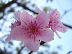 fiori di ciliegio