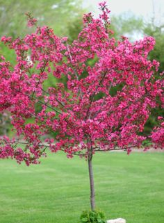 red jewel crabapple | Ledgeview Park Memorial Area - Ledgeview