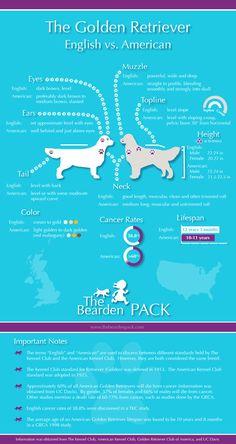 English vs American Golden Retriever Infographic