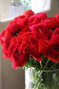 ranunculus Italian red