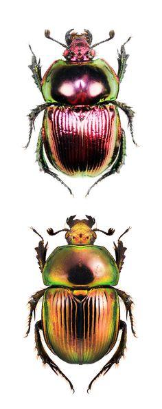 Phelotrupes auratus, two color forms