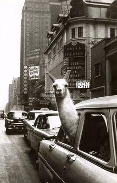 Linda the Llama, Time Square, NYC. Photo: Inge Morath.