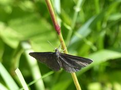 Chimney sweeper moth, Järvselja Forest.