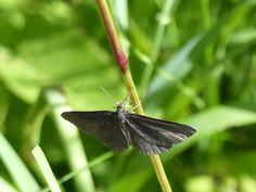 Chimney sweeper moth, Järvselja Forest.
